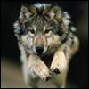 http://mitosa.net/avatars/100x100/enimals/wolf/wolf_04a.jpg