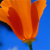 http://mitosa.net/avatars/100x100/flowers/orange_wildflower.jpg